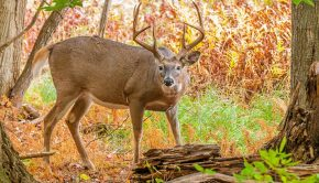 whitetail-deer-buck-72903862