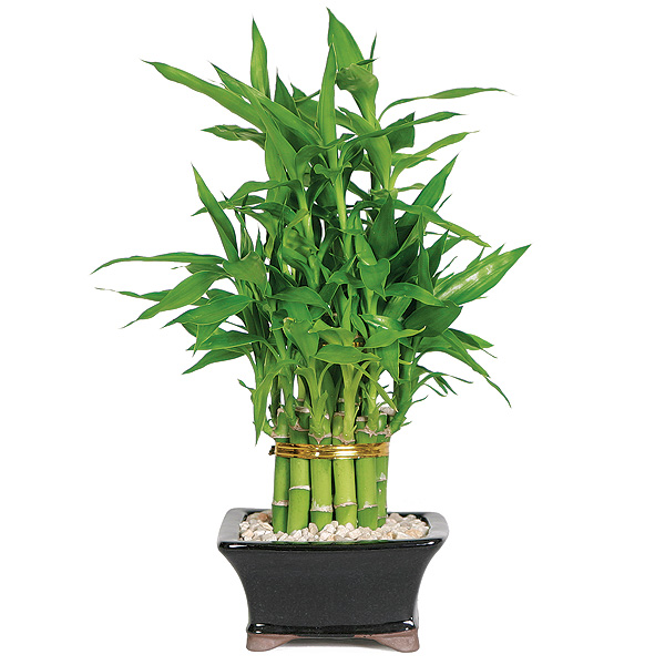 Bamboo House Plant ~ Best spring houseplants to own this time of the year