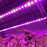 Grow your plants with LED Grow lights and Increase your yield!