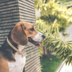 How to Use Bark Collar without Hurting the Dogs